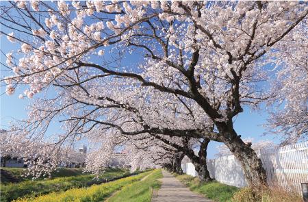 佐名川の桜